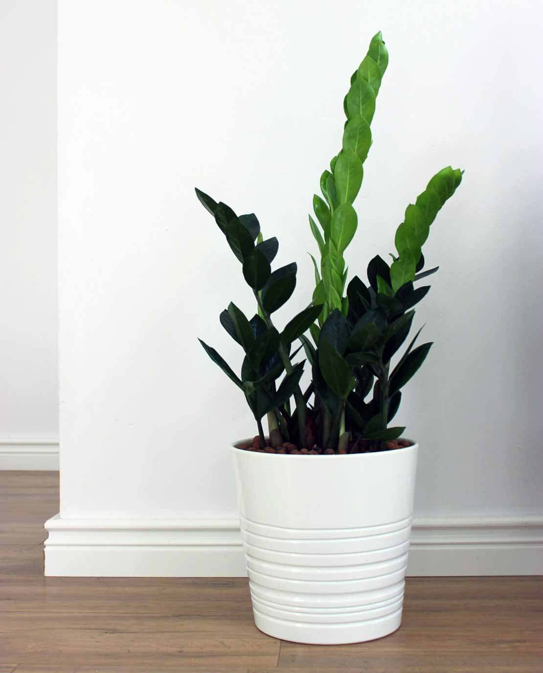 Indoor plant which act as air purifier