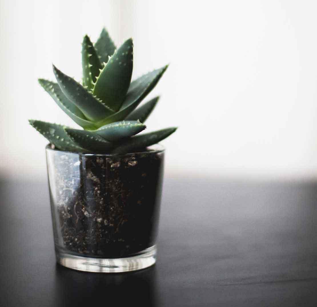 How to grow aloe vera indoor in a pot